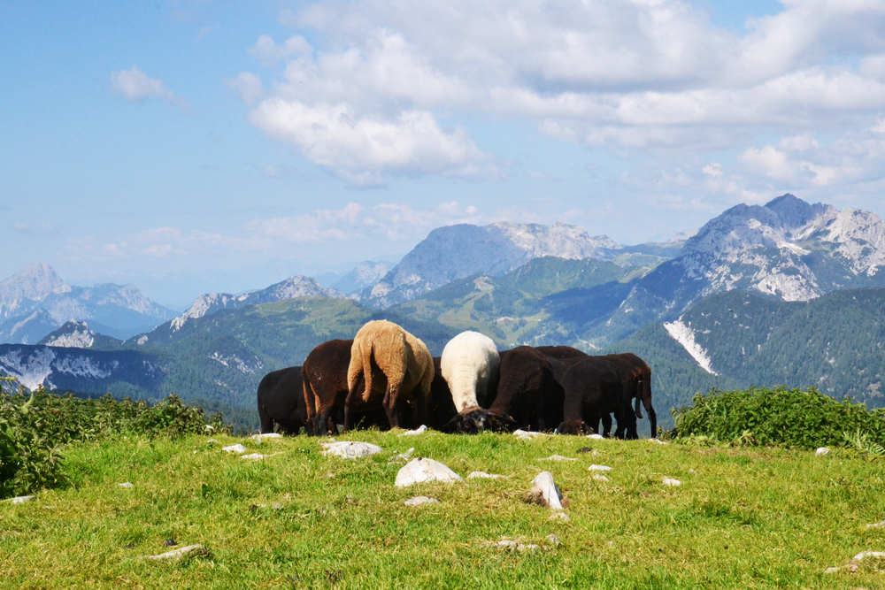 Schafe am Gipfel des Poludnigs