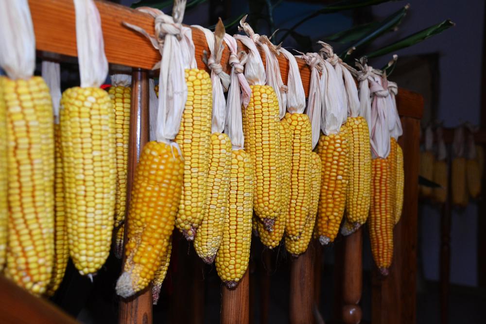 getrocknete Maiskolben im Stiegenaufgang